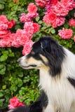 Border collie em rosas cor-de-rosa fotos de stock royalty free