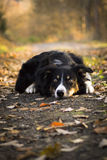 Border collie en automne Photo stock