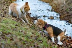 Border collie en brak Harmonische verhouding met de hond: opleiding en onderwijs royalty-vrije stock foto's