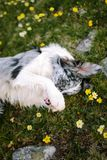 Border collie encontra-se em um prado de florescência da montanha com seus pés dianteiros fechados imagens de stock