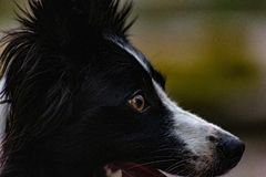 Border collie est un chien bien proportionné avec un aspect harmonieux et sportif image stock