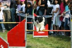 Border collie et agilité de chien Photos stock