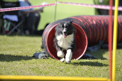 Border Collie exiting the tunnel Stock Images