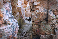Border Collie exploring and walking in between high walls of cliffs. Royalty Free Stock Photography