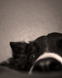 Border Collie Eye. Close up of Boder Collie Face Royalty Free Stock Photography