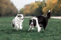 Border collie för två känslomässigt hundkapplöpning lek på ett gräs royaltyfria foton