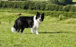 A border collie facing camera in grassy field stock image