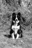 Border Collie on the farm. Black and white photo of a border collie dog sitting Stock Photography
