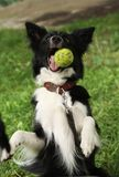 Border Collie Stock Images