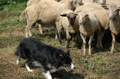 Border collie and flock of sheep. Border collie working with a flock of sheep stock image