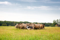 Border collie and flock of sheep Royalty Free Stock Photography