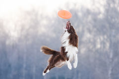 Border Collie in flying disk in the air royalty free stock photo