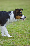 Border Collie Focus Royalty Free Stock Images