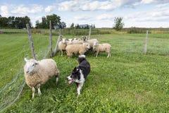 Border collie fonctionnant avec l'expression intense après des moutons images stock