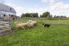 Border collie fonctionnant avec l'expression intense et langue traînant après le groupe de moutons photos stock