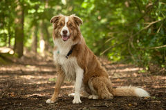 A border collie in the forest. Happy dog photographed outside in the forest royalty free stock image