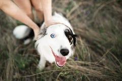 Border collie fresco del perro casero de la muchacha en campo ventoso foto de archivo
