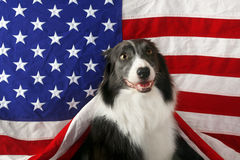 Border collie in front of a USA flag Royalty Free Stock Image