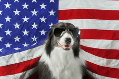 Border collie in front of a USA flag with sunglasses Stock Photography