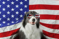 Border collie in front of a USA flag with sunglasses Royalty Free Stock Images