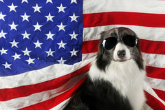 Border collie in front of a USA flag with sunglasses Royalty Free Stock Image