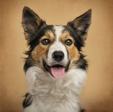 Border Collie in front of a vintage background Stock Image