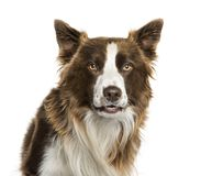 Border Collie in front of white background. Isolated on white royalty free stock photo