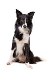 Border Collie. In front of a white background Royalty Free Stock Photography