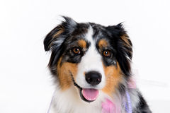 Border collie in front of white background Stock Image