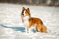 Border Collie fun in winter Royalty Free Stock Photography