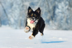 Border collie fun in winter Stock Images