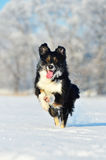 Border collie fun in winter Royalty Free Stock Images