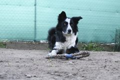Border collie and his game stock photos