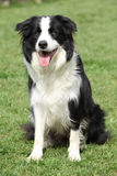 Border collie in the garden Royalty Free Stock Images