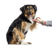 Border Collie giving his paw (2 years old) Royalty Free Stock Photography