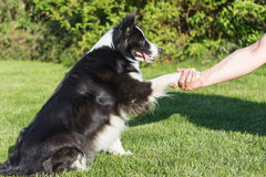 The Border collie is giving paw Royalty Free Stock Photos