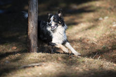 Border Collie goes round the pole Royalty Free Stock Photography