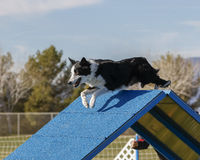 Border Collie going over the A Frame at an Agility Event Royalty Free Stock Images