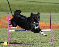 Border Collie going over a jump Stock Photography