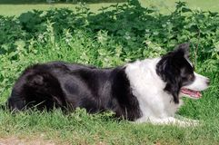 A border collie in a grassy field royalty free stock image