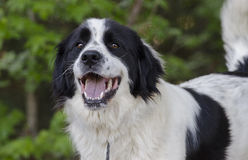 Border Collie Great Pyrenees mixed breed dog. Large fluffy white and black Border Collie Great Pyrenees mixed breed dog stock image