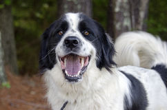 Border Collie Great Pyrenees mixed breed dog. Large fluffy white and black Border Collie Great Pyrenees mixed breed dog royalty free stock photography
