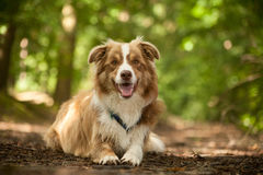 Border collie on the ground. Happy dog photographed outside in the forest royalty free stock images