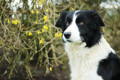 Border Collie. Guess, Border Collie, 6 years stock images