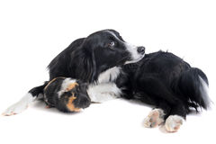 Border collie and guineo pig Stock Images