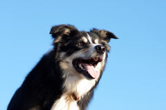 Border collie head shot Stock Photography