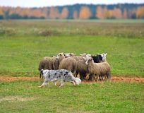 Border collie herding. Border collie working flock of sheep in a meadow Stock Images