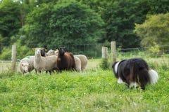 Border collie herding sheep Royalty Free Stock Image