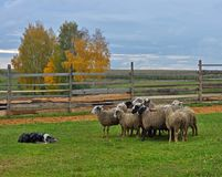 Border collie herding. Border collie working flock of sheep in a meadow stock photos