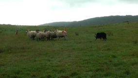 Border collie herds  sheep stock footage